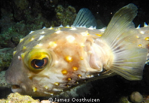 A very sad looking pufferfish. Taken on a night dive by James Oosthuizen 